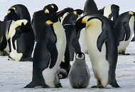 Meet the Penguins at Ski Dubai Image